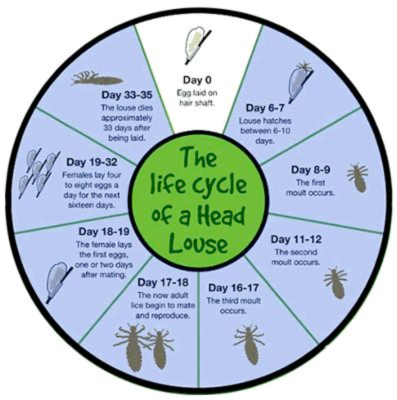 lice-life-cycle